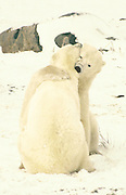 Polar bears hugging in the Arctic wilderness of Canada