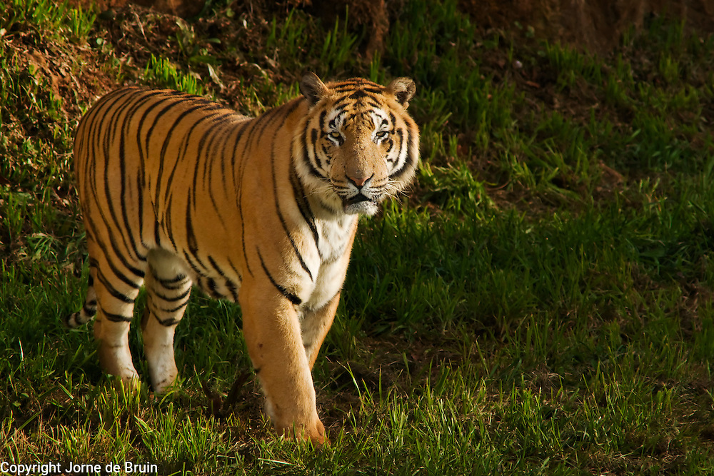 A Tiger is standing in the Wildlife park of Cabárceno in Spain.