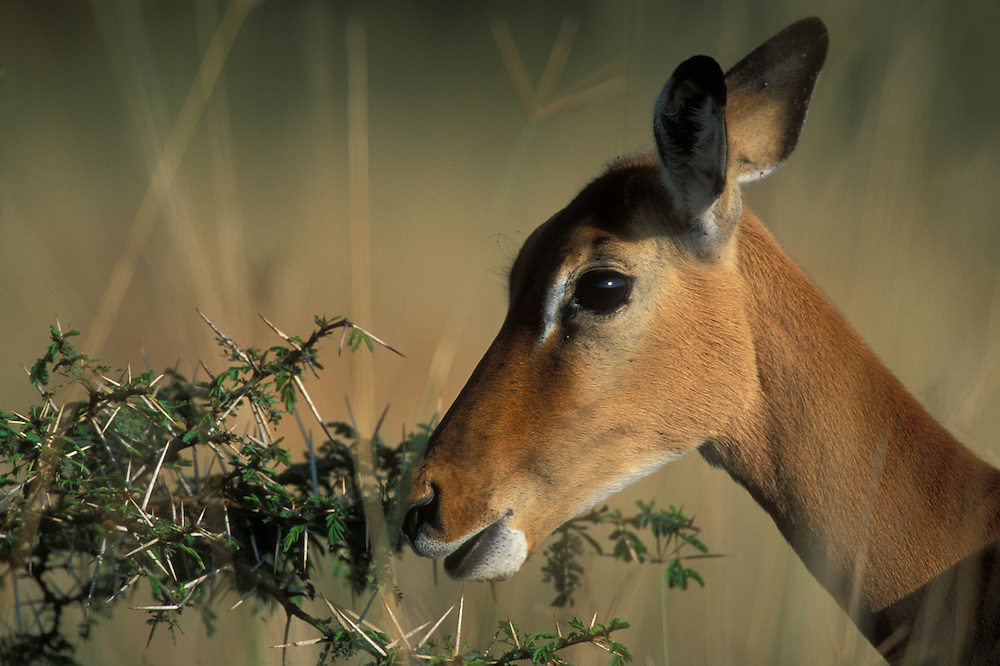 Africa, Kenya, Lake Nakuru National Park,  Impala (Aepyceros melampus) feeding on thorny acacia at dawn