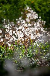 Backlit honesty seedpods in autumn - Lunaria annua