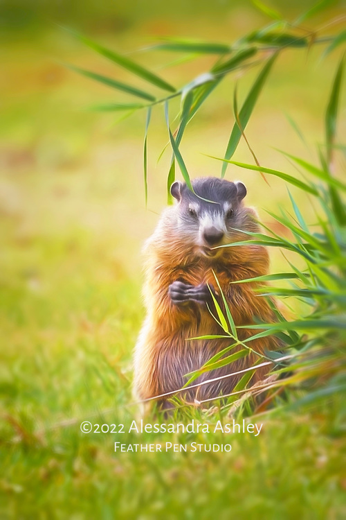 Groundhog appears to laugh as he finds edibles in the garden.
