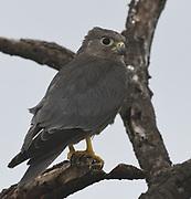Immature grey kestrel (Falco ardosiaceus). Serengeti National Park, Tanzania.