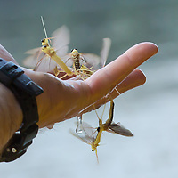 Man holds a handful of insects during the yearly few days long swarming of the long-tailed mayfly (Palingenia longicauda) on the river Tisza in Tiszainoka (some 135 km south-east from Budapest), Hungary on June 23, 2013. ATTILA VOLGYI<br /> The long-tailed mayfly larves live 3 years under water level in the river banks then swarm out for a one day period of their life to die after mating.
