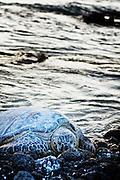 A camouflaged sea turtle rests on the ocean's shore at the Waikoloa Resort, Kohala Coast, Hawaii.