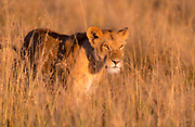 Lioness in the golden grass of Maasai Mara, Kenya.