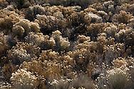 Rabbitbrush in the central Oregon high desert.
