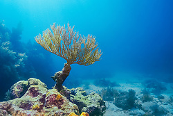 bent sea rod, Plexaura flexuosa, Molasses Reef, Key Largo, Florida Keys National Marine Sanctuary, Florida, USA, Atlantic Ocean