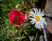 Red Poppy and Daisy. Image taken with a Leica TL-2 camera and 55-135 mm lens