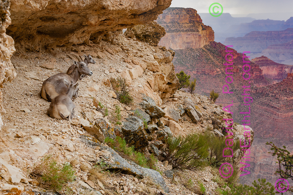 Bighorn sheep ewe with lambs resting on a sheltered ledge below the south rim of the Grand Canyon, Grand Canyon National Park, © David A. Ponton