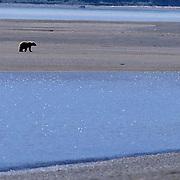 Alaskan Brown Bear, (Ursus middendorffi) Adult walking on tidal flats. Katmai National Park. Alaska. June. Late spring.