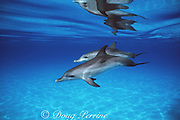 Atlantic spotted dolphins, Stenella frontalis, juveniles without spots, White Sand Ridge, Little Bahama Bank, Bahamas ( Western North Atlantic Ocean )
