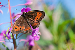 Scotch Argus Butterfly perching on fireweed