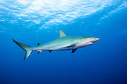 A Caribbean Reef, Carcharhinus perezi, swims offshore Jupiter, Florida, United States.