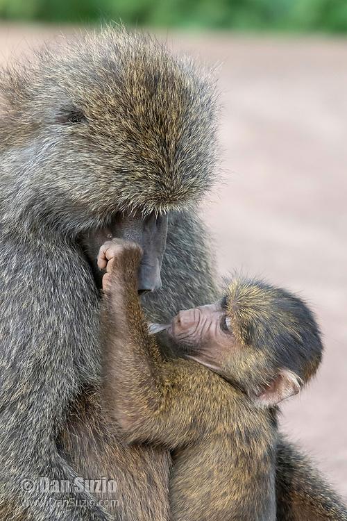 A female Olive Baboon, Papio anubis, nurses her baby in Ngorongoro Crater, Ngorongoro Conservation Area, Tanzania