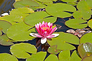 Water lily flower and pads, California
