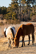 Chincoteague ponies (Equus caballus), also known as Assateague horses, feed together on Assateague Island in the Chincoteague National Wildlife Refuge in Virginia. Chincoteague ponies are small — typically 12-13 hands (about 4 feet tall) — their growth stunted by the limited food and harsh environment of Assateague Island. About 300 wild — technically feral — ponies roam the island on the Atlantic coast. There is some dispute as to how the ponies ended up on the island. Some researchers believe the ponies are survivors of the wreck of a Spanish galleon, La Galga, which sank just off the coast in 1750; the U.S. Fish and Wildlife Service believes they are descendants of horses owned by early colonial settlers.