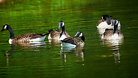 Canada Geese. Sourland Mountain Preserve. Image taken with a Nikon D300 camera and 80-400 mm VR lens.
