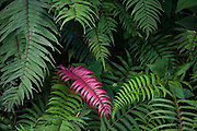 A red fern frond grows among green ferns in the cloud forest on the eastern foothills of the Andes, between the Puna highlands and the lower Amazon Basin, Peru.