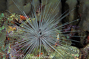 long-spined sea urchin, <br /> Diadema antillarum,<br /> Dominica  ( Caribbean Sea )