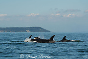 transient orca or killer whales, Orcinus orca, in the Salish Sea, between the San Juan Islands, Washington, United States and the Gulf Islands off the east coast of Vancouver Island, British Columbia ( BC ), Canada