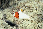 bicolor or red-speckled parrotfish, <br /> Cetoscarus bicolor, juvenile,<br /> Mabul Island, off Borneo, <br /> Sabah, Malaysia ( Celebes Sea )
