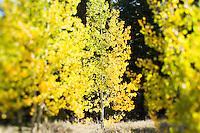 Aspens in southeast Oregon.