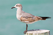 Juvenile Laughing gull, Larus atricilla, on shoreline at Anna Maria Island, Florida, USA