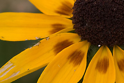 12 Oct 2011: Black eyed Susan bloom. Rural Indiana, specifically in or close to Brown County.