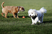 This is Lazlo the Coton de Tulear and Henry the Border Terrier