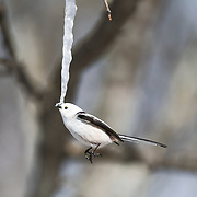 This is a long-tailed tit (Aegithalos caudatus) hovering in front of an icicle formed from the sap of a painted maple tree (Acer pictum). During winter months, small birds like this make use of this calorie-rich food source (essentially frozen maple syrup) to fuel their high metabolisms. The birds fly to an icicle, hover, break off a piece and fly away, all in the blink of eye. Image 2 in a sequence of 3, showing the bird breaking a piece off from the tip of the icicle.