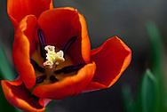 Orange and Red Tulip Close-up