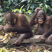 Orangutan, (Pongo pygmaeus) Juvenile eating bananas in nursery at Sepilok Forest Rehabilitation Center. Borneo. Malaysia. Controlled Conditons.