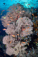 Under a setting sun, Anthias and Wrasses feed in front of Sea Fans<br /> <br /> Shot in Raja Ampat Marine Protected Area West Papua Province, Indonesia