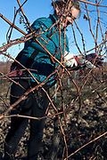 grape vines pruning France Languedoc
