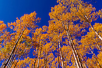 An aspen grove in autumn in the San Juan Mountains near Ridgway, Colorado USA.