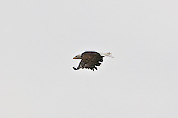 Chester River Bald Eagle