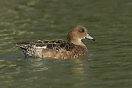 Wigeon (female) Mareca penelope. L 45-47cm. Males are colourful and attractive. Forms large flocks outside breeding season. Sexes are dissimilar. Adult male has mainly orange-red head with yellow forehead. Breast is pinkish; rest of plumage is mainly finely marked grey except for white belly and black and white stern. In flight, has white patch on wing. Bill is pale grey and dark-tipped. In eclipse, resembles an adult female although white wing patch is still evident. Adult female is mainly reddish brown, darkest on head and back. Note, however, the white belly and stern. In flight, lacks male's white wing patch. Bill is grey and dark-tipped. Juvenile resembles adult female. Voice Male utters evocative wheeeoo whistle.