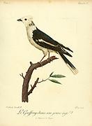Juvenile Geoffroy from the Book Histoire naturelle des oiseaux d'Afrique [Natural History of birds of Africa] Volume 2, by Le Vaillant, François, 1753-1824; Publish in Paris by Chez J.J. Fuchs, libraire 1799