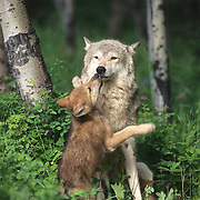 Gray wolf (Canis lupus) mother with pup in the Rocky Mountains, Captive Animal