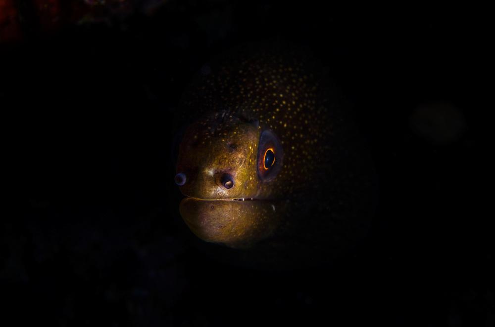 Goldentail Moray (Gymnothorax miliaris)<br /> BONAIRE, Netherlands Antilles, Caribbean<br /> HABITAT & DISTRIBUTION: Shallow to midrange reefs. Florida, Caribbean, Bahamas, Gult of Mexico, Bermuda south to Brazil