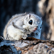 This is a male Japanese dwarf flying squirrel (Pteromys volans orii). This sub-species of Siberian flying squirrel, found only in Hokkaido, Japan and known locally as ezo-momonga, is primarily nocturnal. This imdividual was active during the day because it was competing for the attention of a female in oestrous.