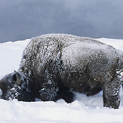 Bison (Bison bison) foraging for food during winter in Yellowstone National Park.