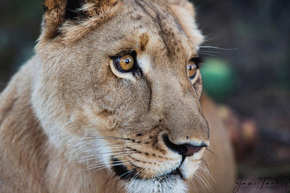 A close-up of a female lioness face (Panthera leo), Kalahari, Botswana, Africa