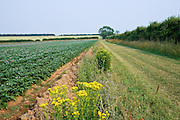 Footpath along verge by potato crop near Holkham, Norfolk, United Kingdom