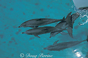 Atlantic spotted dolphins, Stenella frontalis, bowriding catamaran sailboat, Little Bahama Bank, Bahamas, Little Bahama Bank, Bahamas ( Western Atlantic Ocean )