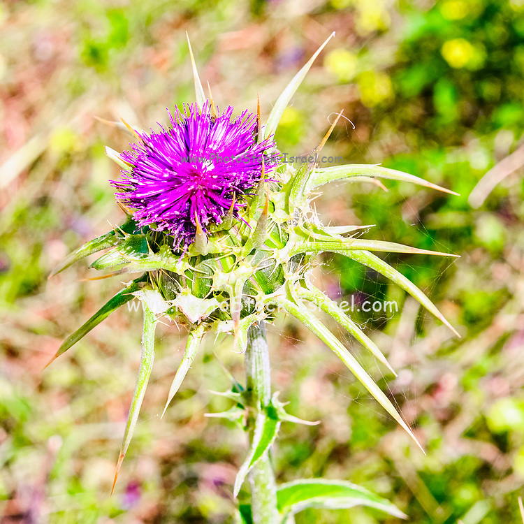 Milk Thistle (Silybum eburneum) Photographed in Israel, Galilee in March