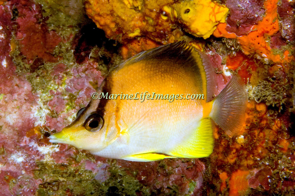 Longsnout Butterflyfish inhabit deeper reefs and walls, usually solitary Tropical West Atlantic; picture taken St. Vincent.