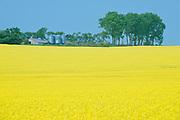 Canola and shelterbelt , Saint Leon, Manitoba, Canada