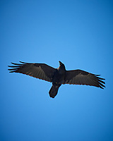 Common Raven. Rocky Mountain National Park, Colorado. Image taken with a Nikon D200 camera and 18-200 mm lens.