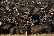 Buffalo (Syncerus caffer) herd is still in a tight group after sleeping this way and they will stay grouped until mid morning in the hopes that it will then be too hot for the lions to follow and hunt them.<br /> Duba Plains area. Okavango Delta. BOTSWANA. Southern Africa.<br /> THIS HERD AND ITS LION INTERACTION HAS BEEN THE SUBJECT OF A NATIONAL GEOGRAPHIC DOCUMENTARY FILMED BY DEREK AND BEVERLEY JOUBERT.<br /> HABITAT: Open plains where they eat coarse grass - in doing so expose the more tender grass and shoots for the many animals that find the old grass unpalatable. When not feeding they tend to group tightly in wooded areas with the young in the center to protect themselves againt predators.<br /> They usually occur in large herds and are under constant stress with lions and hyaena stalking and hunting them on a regular basis.<br /> Both sexes have horns. Males horns more massive. Males are also larger and darker in color. They weigh between F: 550kg and M 600-1000kg's with a should height of 140 cm. <br /> They are predatored on by lions, spotted hyaena and large crocodiles.